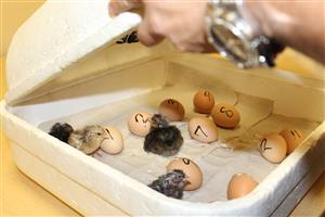 chick hatch